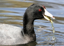 -American coot -26