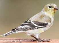 American goldfinch (1 of 1).jpg