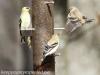American goldfinch 8 (1 of 1).jpg
