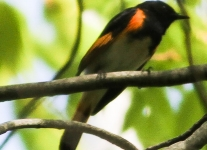 american redstart     PPL Wetlands  (1 of 1).jpg