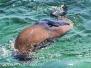 Australia Day Eleven Rottnest Island fur seals February 14 2015
