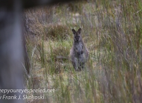Tasmania Bruny Island wallaby -1