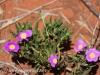 Uluru Desert Gardens hike -16