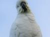 Katoomba parrots 10-1
