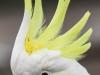 Katoomba parrots 13-1