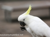 Katoomba parrots 14-1