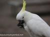 Katoomba parrots 15-1
