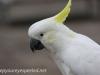 Katoomba parrots 15-2