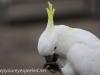 Katoomba parrots 15-3