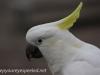 Katoomba parrots 15-4