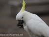 Katoomba parrots 16-1
