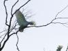 Katoomba parrots 3-1