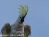 Katoomba parrots 4-1