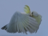 Katoomba parrots 5-1