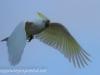 Katoomba parrots 6-1