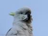 Katoomba parrots 9-1