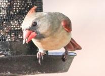 cardinal (1 of 1).jpg