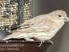back yard birds-10