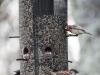 back yard birds-16