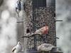 back yard birds-18