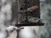 back yard birds-19