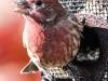 back yard birds finch 105 (1 of 1)