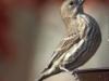 back yard birds finch 81 (1 of 1)