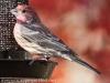 back yard birds finch 93 (1 of 1)