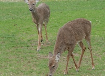 deer-1-of-8