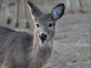 Backyard deer March 19,20 2015