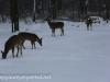 deer (2 of 11).jpg
