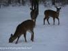 deer (4 of 11).jpg