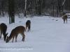 deer (5 of 11).jpg