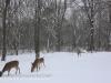 deer (9 of 11).jpg