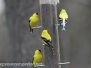 Backyard goldfinches May 6 2015