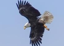 bald-eagle-9-of-21
