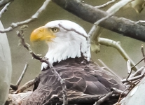 bald eagle 1 (1 of 1).jpg