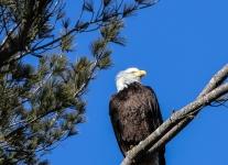 bald eagle -1