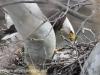 PPL Wetlands Bald eagle (1 of 1).jpg