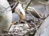 PPL Wetlands Bald eagle 4 (1 of 1).jpg