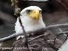 bald eagle 2 (1 of 1).jpg