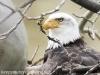 bald eagle 4 (1 of 1).jpg