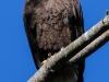 bald eagle -4
