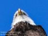 bald eagle -5