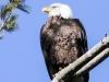 bald eagle -6