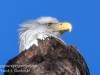 bald eagle -8