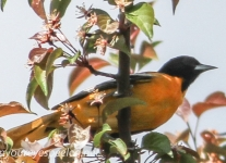 baltimore oriole  (1 of 1).jpg