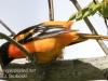 PPL Wetlands baltimore oriole -3