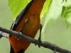 PPL Wetlands baltimore oriole 4 (1 of 1).jpg
