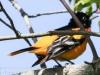 PPL Wetlands baltimore oriole -4